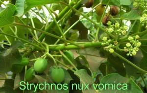 Strychnos nux vomica