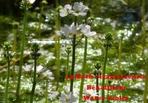 Békaliliom 34.Bach virágesszencia