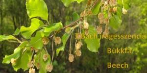Bükkfa 3. Bach virágesszencia
