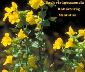 Bohócvirág 20. Bach virágesszencia