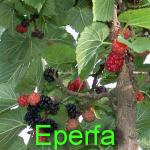 Eperfa