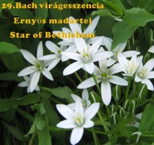 Ernyős madártej 29. Bach virágesszencia