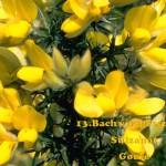 Sülzanót 13. Bach virágesszencia