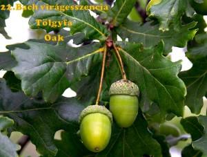 Tölgyfa 22. Bach virágesszencia