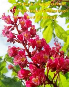 Vörösvirágú vadgesztenye 25.Bach virágesszencia