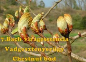 Vadgesztenyerügy 7. Bach virágesszencia