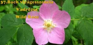 Vadrózsa 37.Bach virágesszencia