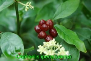 Cephaelis ipecacuanha