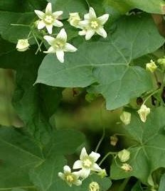 Bryonia alba homeopátia