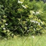 Cickafark Millefolium herba