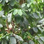 Coffea homeopátia
