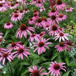 Echinacea purpurea homeopátia