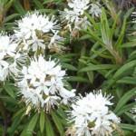 Ledum palustre homeopátia