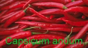 Capsicum anuum Paprika
