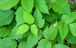 Rhus toxicodendron homeopátia